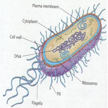 Bacteria are microorganisms that lack a nucleus and have a cell wall