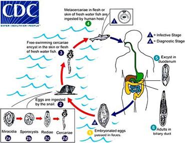 Staphylococcus aureus - Antimicrobe
